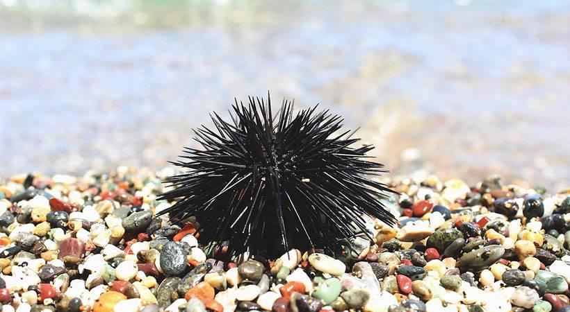 Kako PRAVILNO odstraniti bodice morskega ježka iz kože